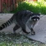 city-raccoon