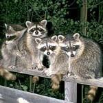 Raccoon-Behavior