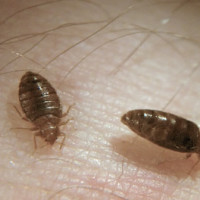 Bed Bug Control