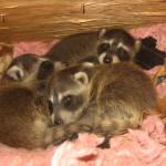 raccoon-babies