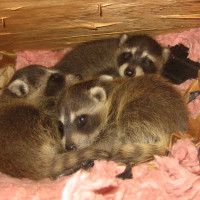 raccoon-babies