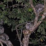 raccoon-mother
