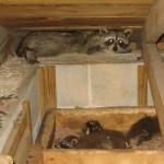 Raccoons In Attic